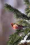 Common Redpoll: J-557