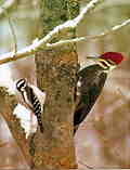 Friendly Woodpeckers: M-294