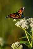 Monarch Butterfly: W-464
